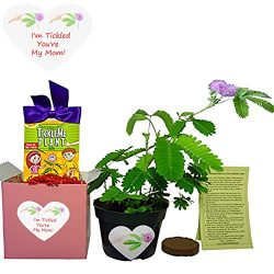 Mother's Day/Birthday TickleMe Plant Gift Box Set – To grow the Plant that closes it ...