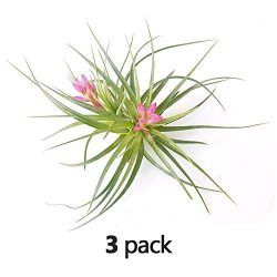 The Drunken Gnome AIR PLANTS – STRICTA HARD – 3 PACK – air purifying flowering tillandsia  ...