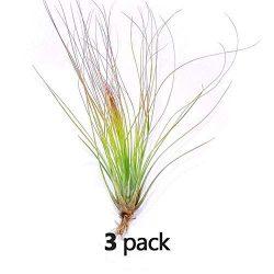 The Drunken Gnome AIR PLANTS–JUNCIFOLIA LARGE – 3 PACK air purifying flowering tillandsia for te ...